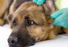 aural hematoma doggy