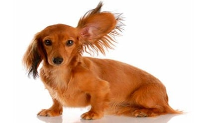 dog ear inflammation