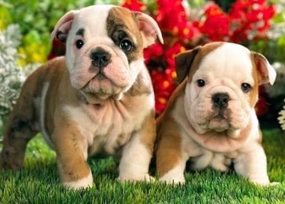 puppies in garden