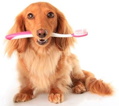 washing a dog's teeth