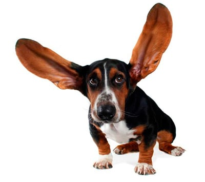 clean the dog's ears