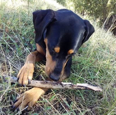 Dog eating a stick