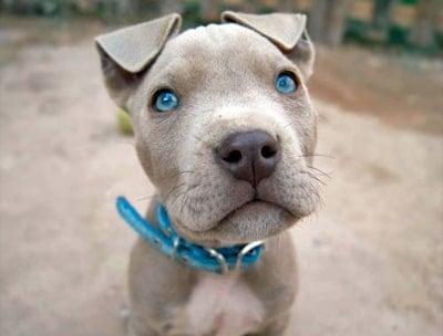 pitbull puppy with blue eyes